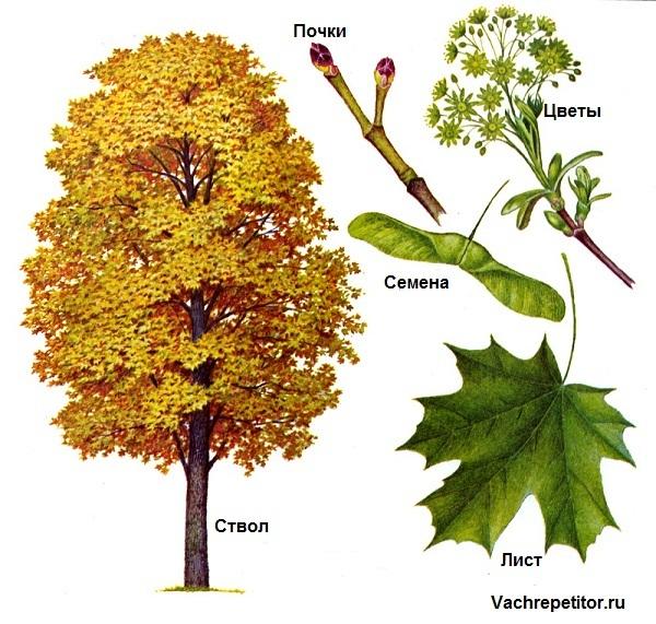 Природа. Растения. Части растений